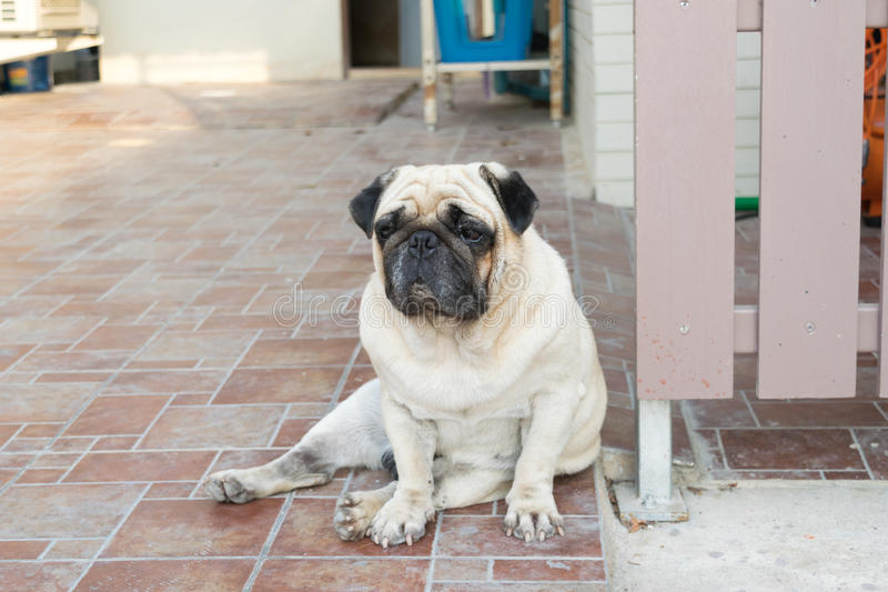 Mopshundsammanträde på golvet royaltyfria foton