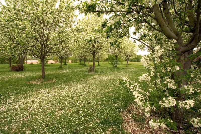 Moquette dei fiori della mela in primavera immagine stock libera da diritti