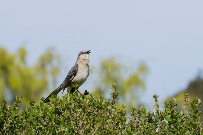 Moqueur du nord de chant, région naturelle d'Ulistac, Santa Clara, la Californie photographie stock libre de droits