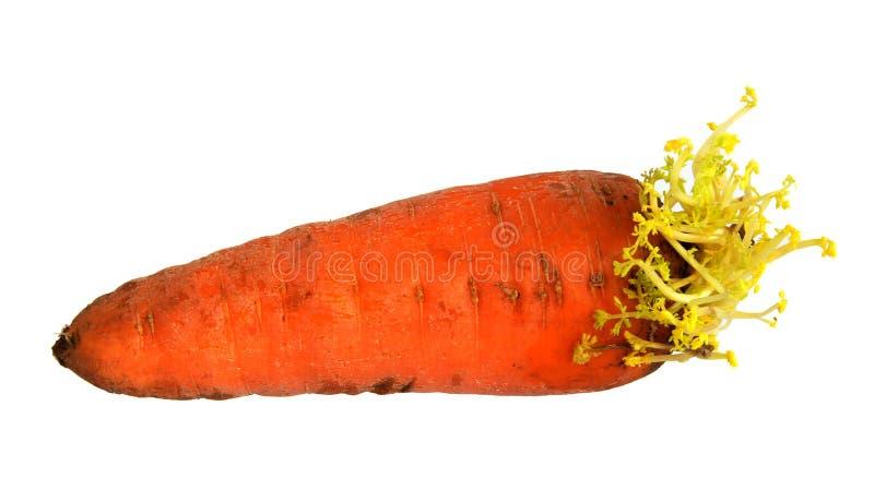 Morötter med unga sidor royaltyfri foto