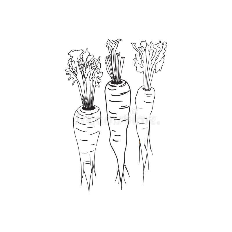 Morötter också vektor för coreldrawillustration Handteckningsstil vektor illustrationer