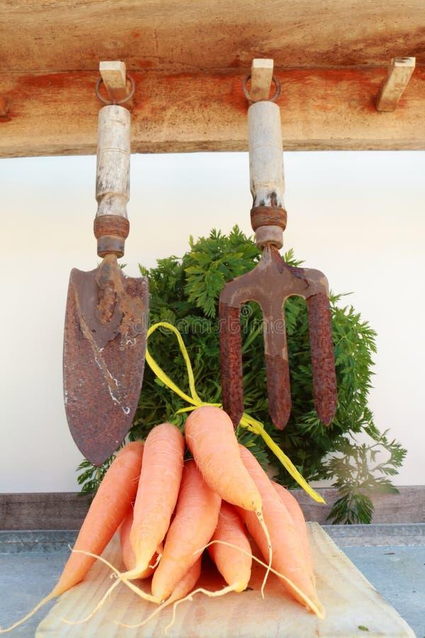morötter som skördas nytt royaltyfri foto