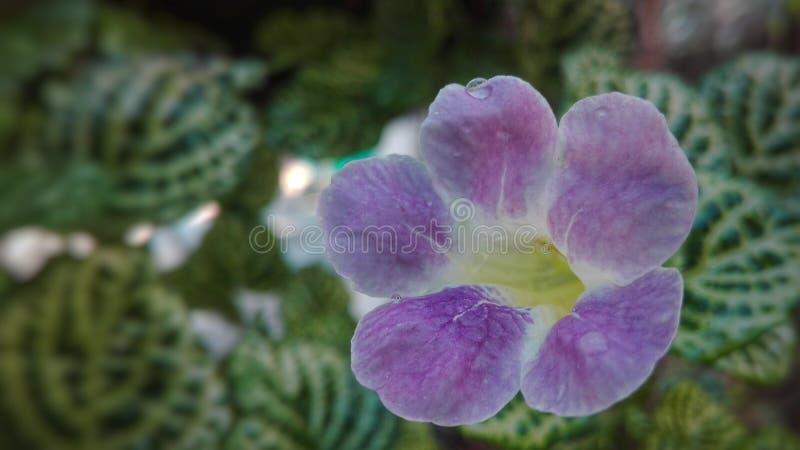 Morada de Flor fotos de stock