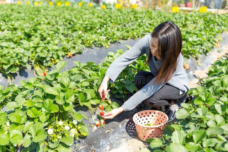 Morango da colheita da jovem mulher no campo imagem de stock royalty free