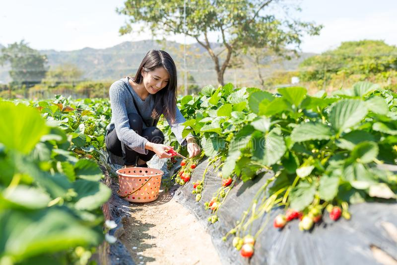 Morango da colheita da mulher fotografia de stock