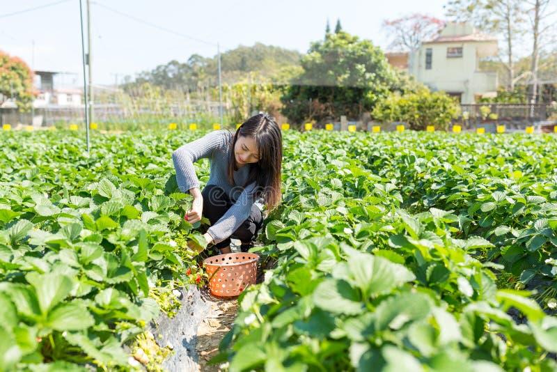 Morango da colheita da mulher no campo fotografia de stock royalty free