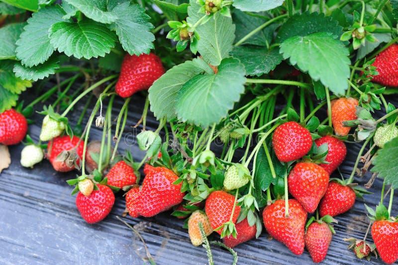 Download Crescimento De Frutos Da Morango Imagem de Stock - Imagem de grupo, cultive: 29826323