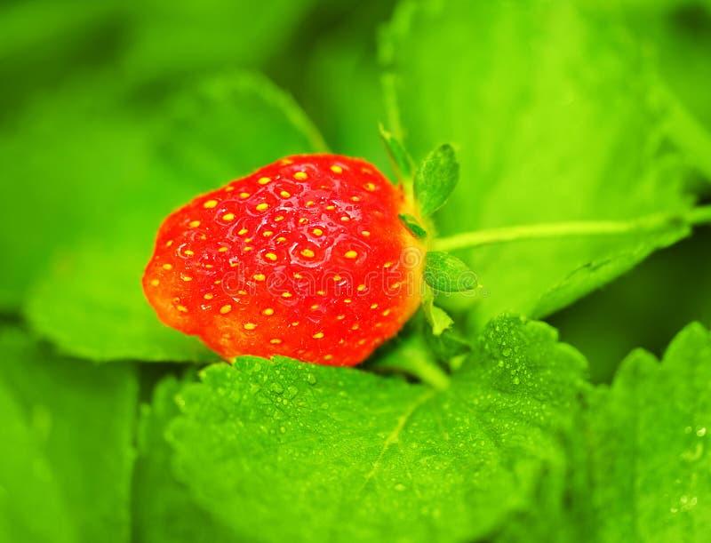 Morango fresca vermelha foto de stock