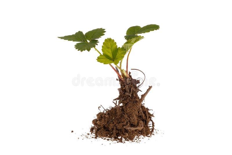 Morango nova Planta crescente imagem de stock royalty free