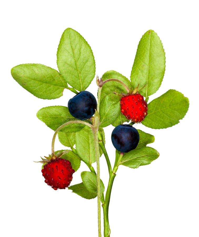 Morango selvagem e uva-do-monte isoladas imagem de stock