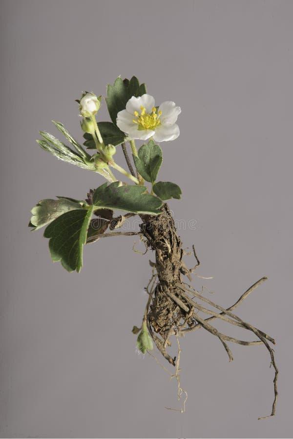 Morango silvestre - planta inteira - isolado imagem de stock