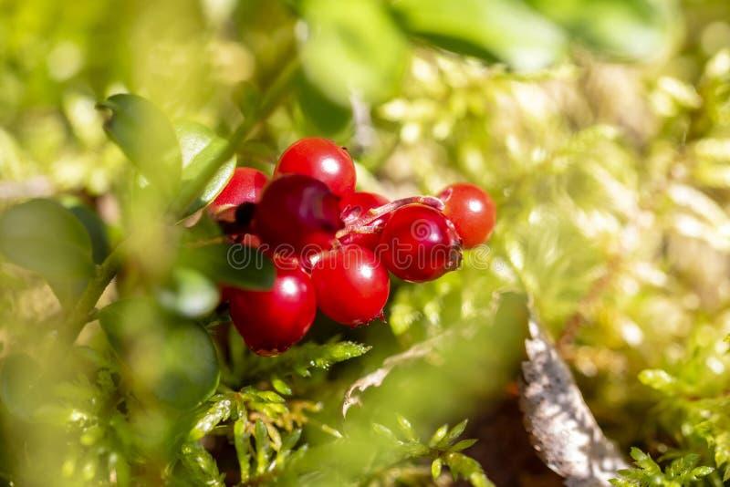 Morango vermelho por natureza Morango florestal, produto respeitador do ambiente Tratamento doméstico foto de stock
