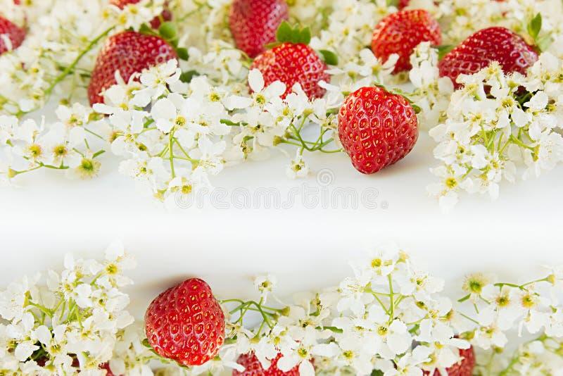 Morangos com as flores da cereja de pássaro em um fundo branco Fundo ensolarado da mola Beira com o espaço da cópia imagens de stock royalty free