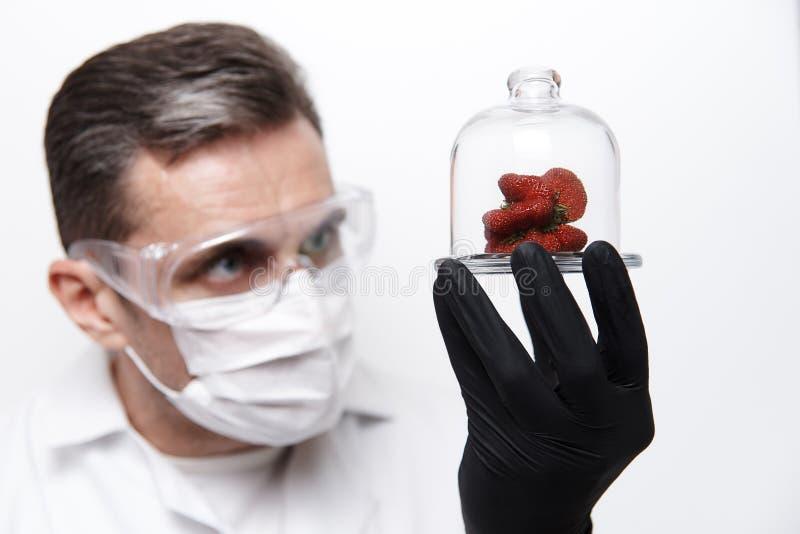 Morangos da forma estranha sob uma tampa de vidro nas mãos de um cientista imagens de stock