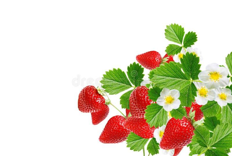 Morangos do verão do jardim Bagas vermelhas frescas fotos de stock