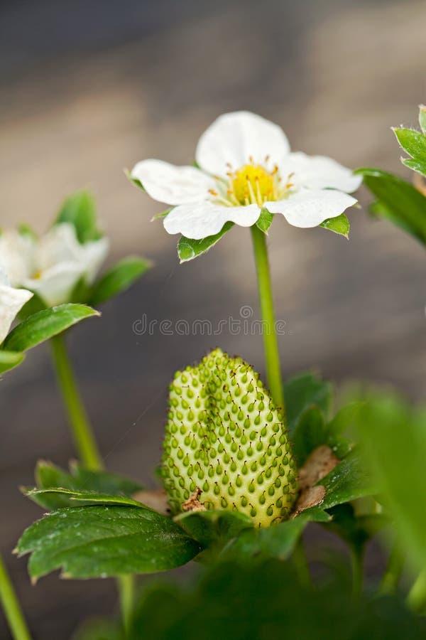 Morangos e flores foto de stock