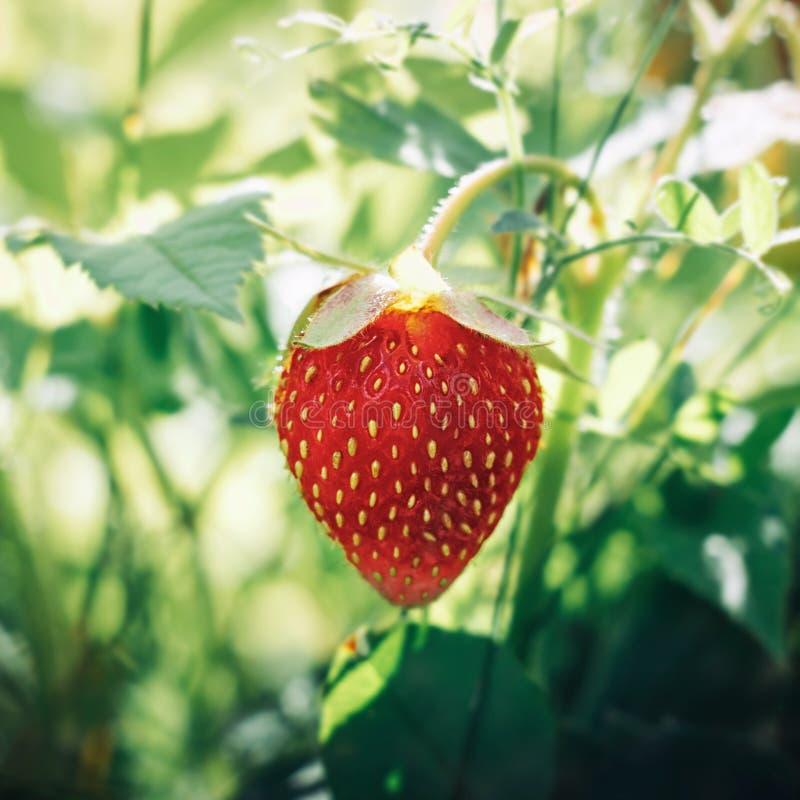 Morangos maduras suculentas brilhantes no jardim Baga vermelha saboroso doce em um fundo borrado verde Morango em um arbusto foto de stock royalty free