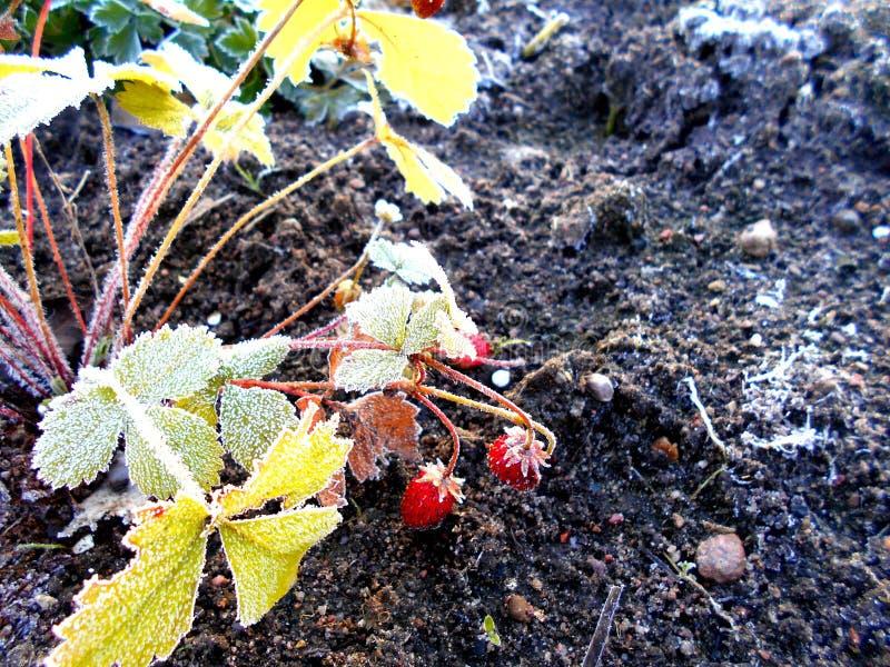 Morangos maduras vermelhas no jardim Fim acima fotografia de stock royalty free