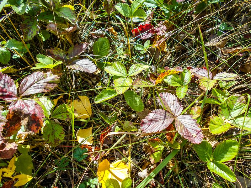 Morangos silvestres na morango de madeira da floresta morango silvestre le fotografia de stock