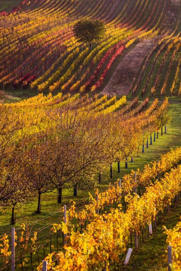 Moravian autumn vineyards. Czech Republic royalty free stock image
