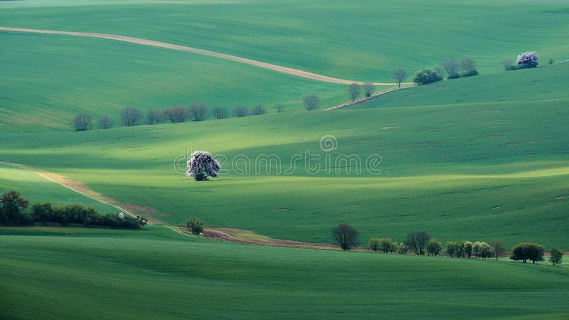 Moravian fields green and white lonely blossoming tree in the morning sun. South Moravia Czech Republic. royalty free stock photo