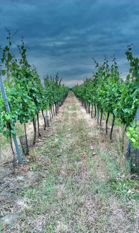 Morawski winnica zdjęcie stock