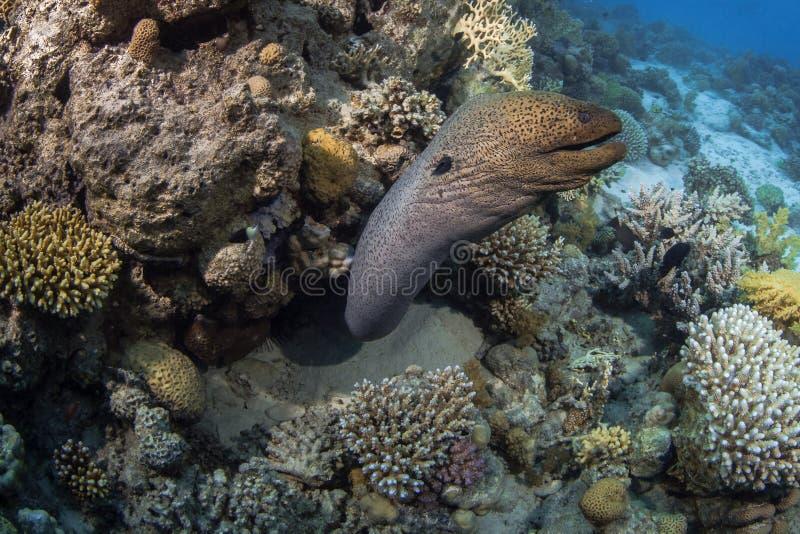 Morayålen gör ett plötsligt ryck från lya i korallrev royaltyfri foto