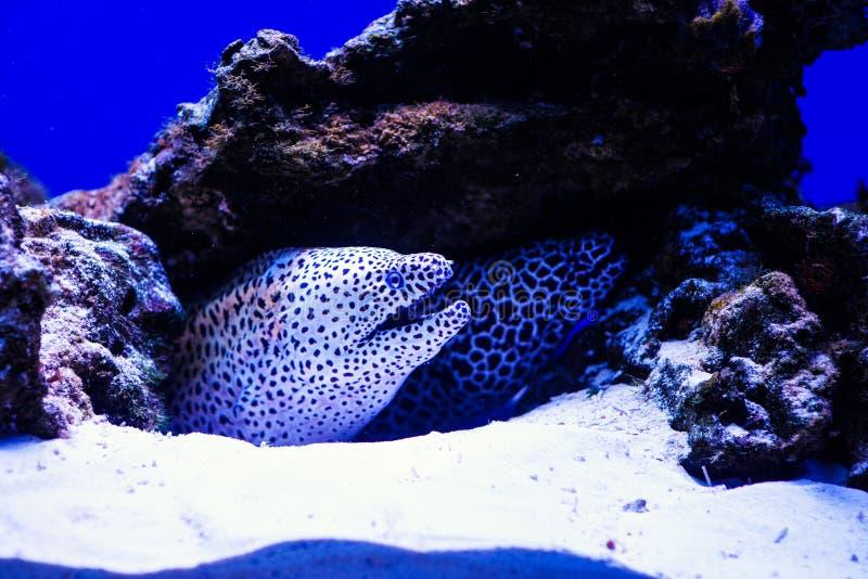 Moray atado ( Gymnothorax favagineus) no recife de corais fotos de stock