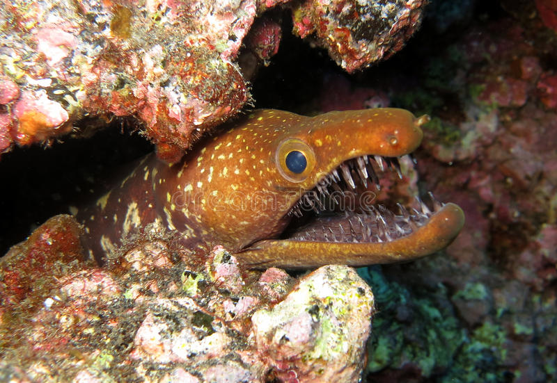 Moray de Fangtooth - Îles Canaries photo stock