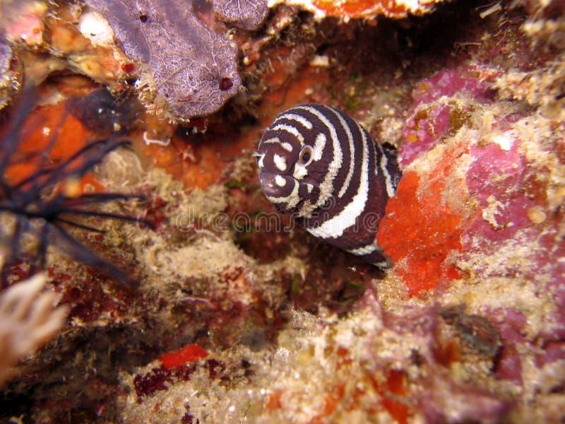 Download Moray della zebra immagine stock. Immagine di corals, coral - 221349