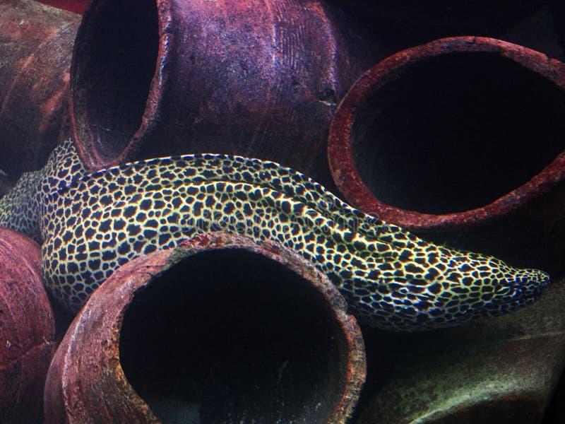 Moray Eel arkivfoton