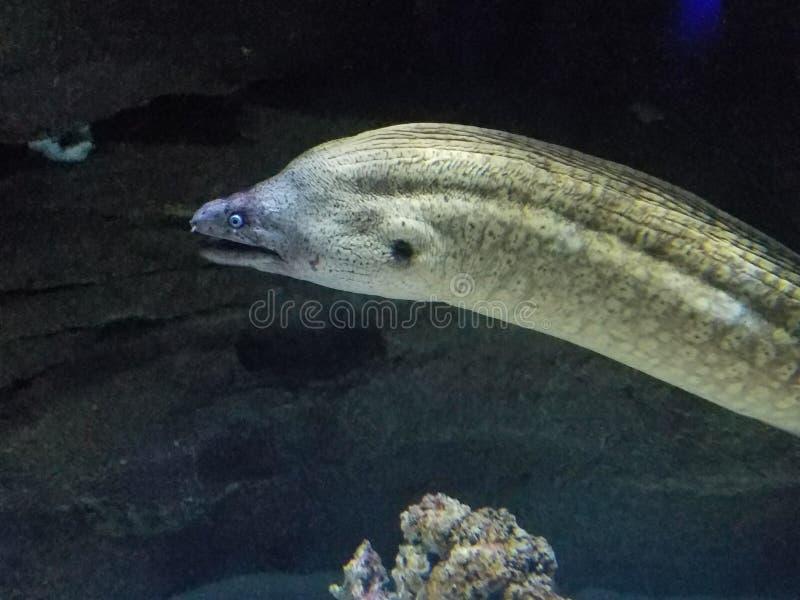 Moray Eel Aquarium de Paris Cinéaqua fotografie stock libere da diritti