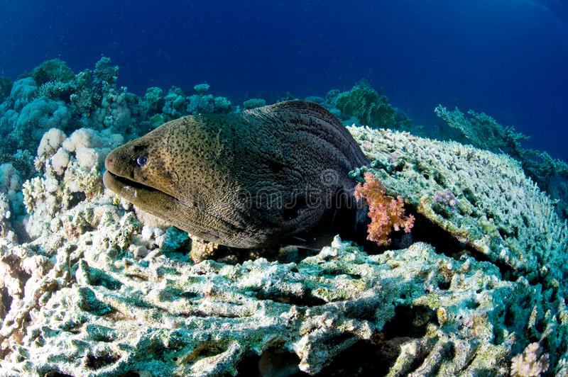 Moray Eel and coral table, underwater, Red Sea, Egypt stock photography