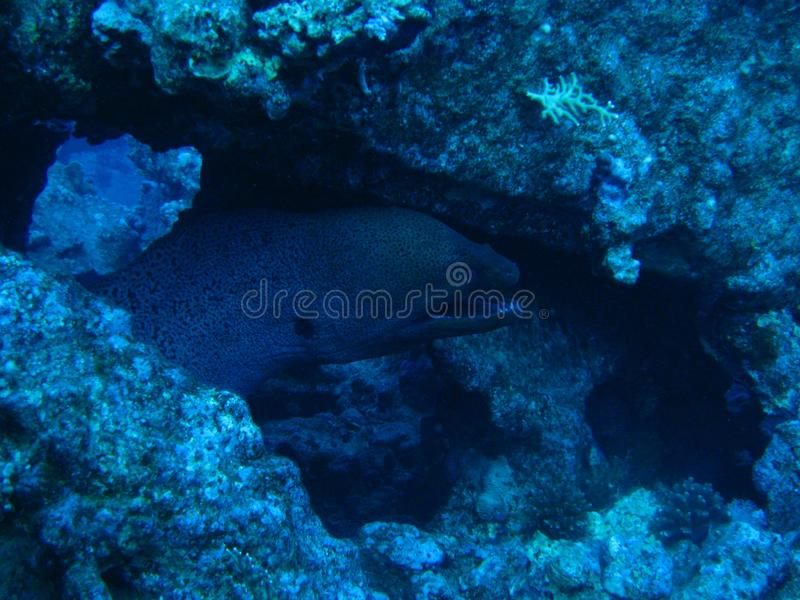 Moray Eel en la ruina de Carnatic foto de archivo