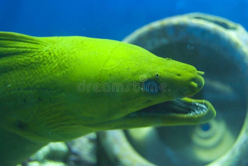 Moray Eel head stock photo