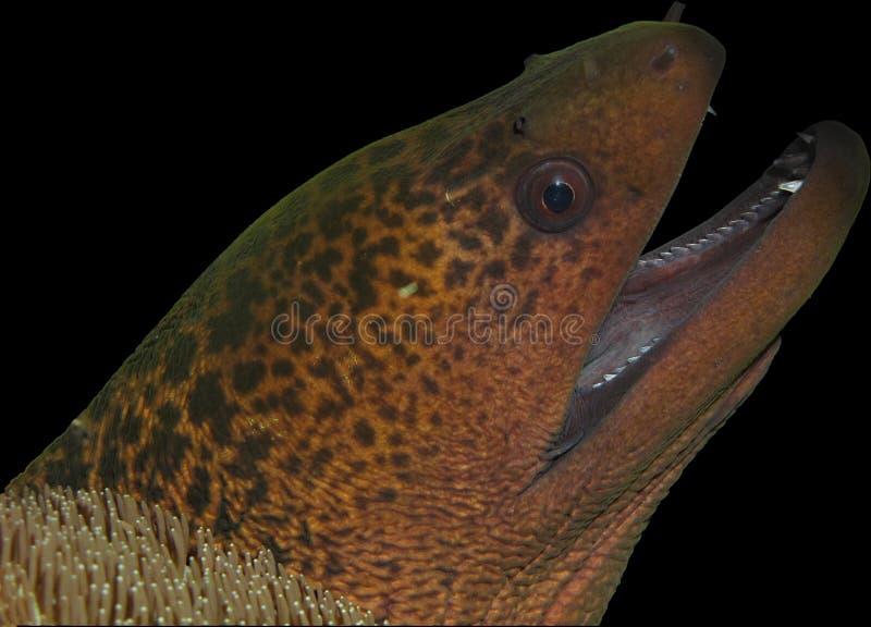 Moray eel head isolated on black royalty free stock photos