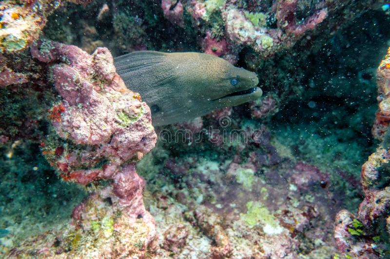 Moray eel hiding in coral reef stock images