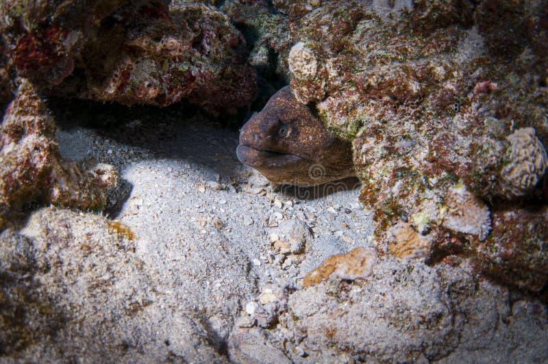 A Moray Eel hiding in a den stock photos
