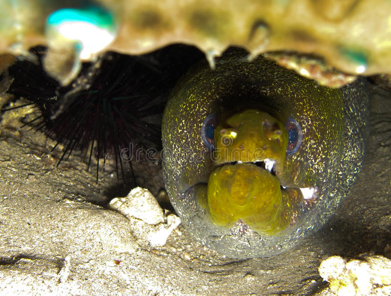Download Moray Eel Hiding Under A Rock Stock Image - Image of bannerfish, colourful: 19732621