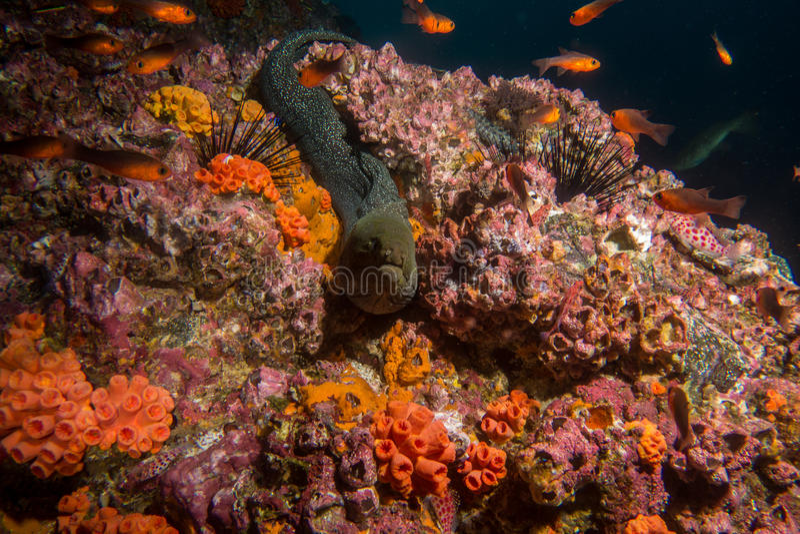 Moray Eel Malpelo stock foto's