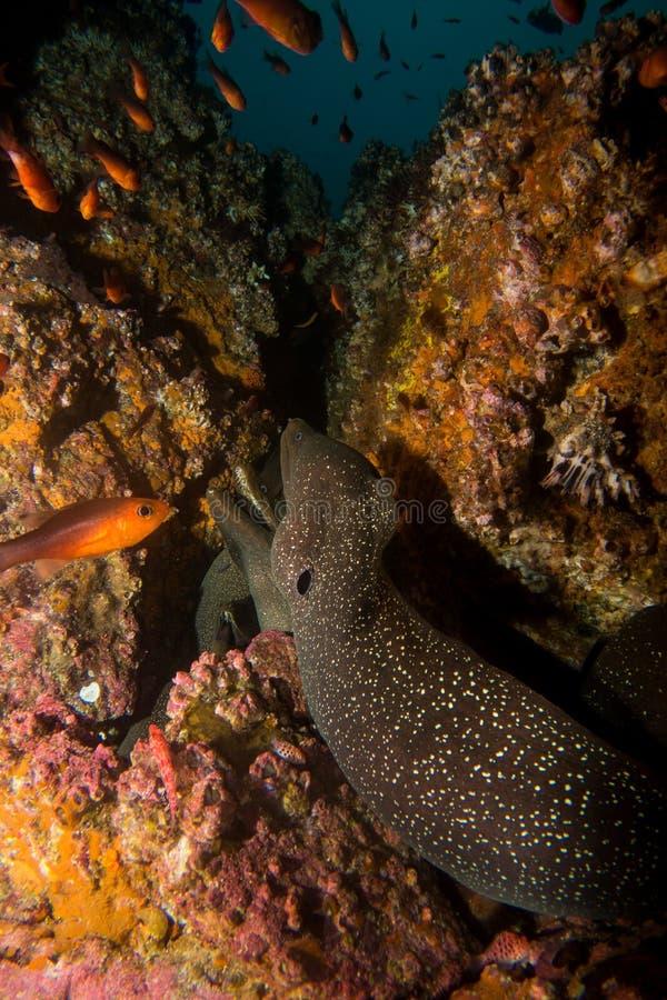 Moray Eel Malpelo stockfotografie