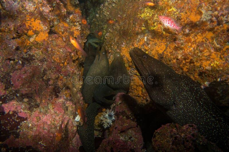 Moray Eel Malpelo royalty-vrije stock foto's