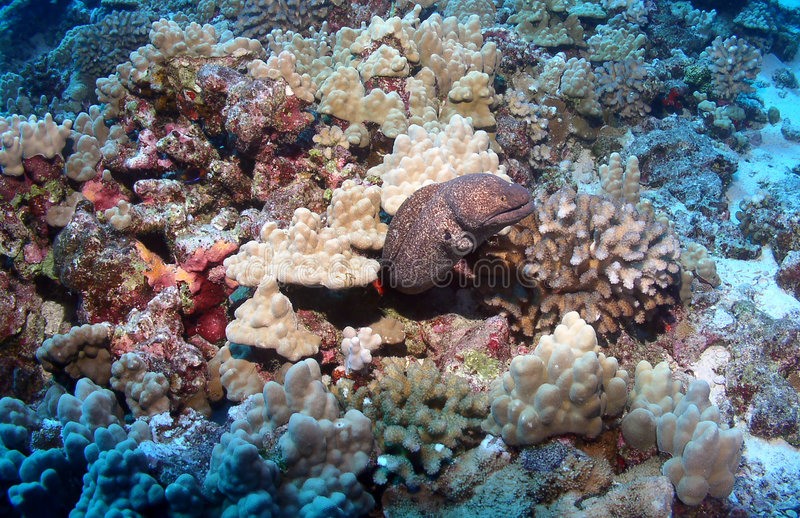 Moray Eel in Maui. Moray Eel out from under the Coral in Maui stock photos