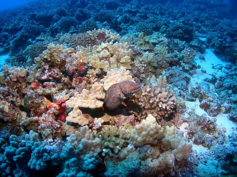 Moray Eel in Maui at Molokini Crater. Moray Eel in Molokini Maui on a coloful Reef stock photo
