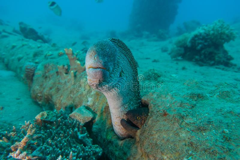 Moray eel in the Red Sea, eilat israel a.e stock photo