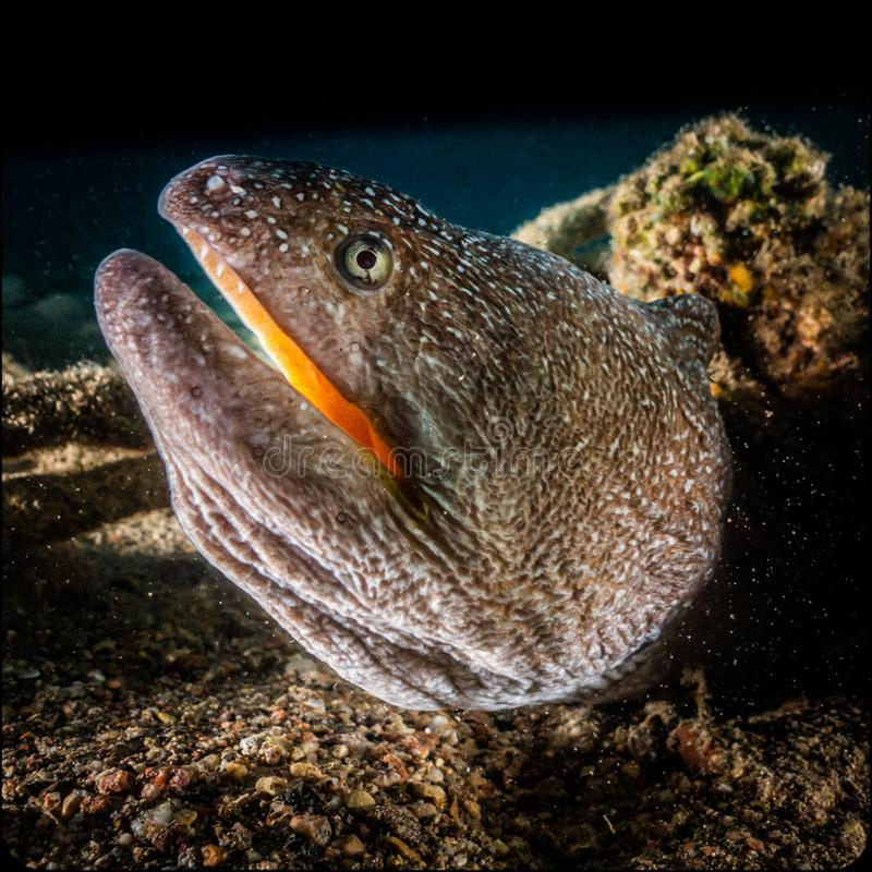 Moray eel Mooray lycodontis undulatus in the Red Sea, eilat israel a.e stock photography