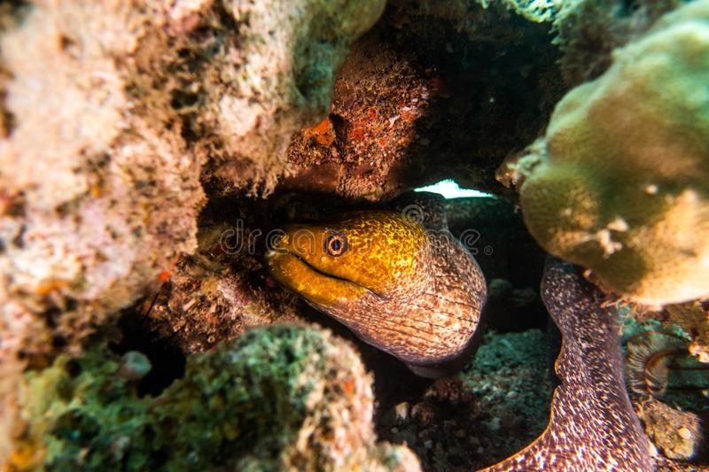 Moray eel in the Red Sea, eilat israel a.e royalty free stock images