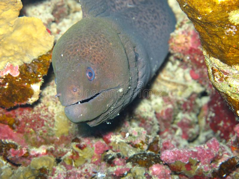 A moray eel muraenidae, coming out of a hole in the Red Sea off the coast of Yanbu, in Saudi Arabia.  royalty free stock image