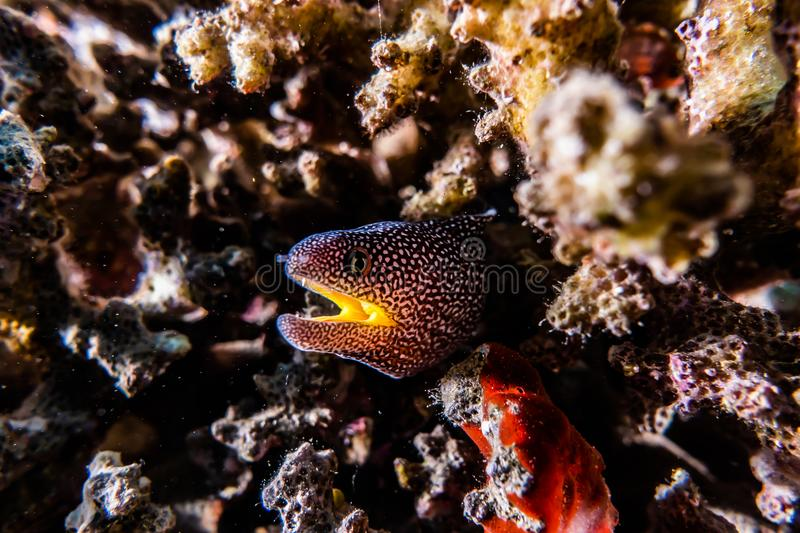 Moray eel in the Red Sea, eilat israel a.e royalty free stock photo