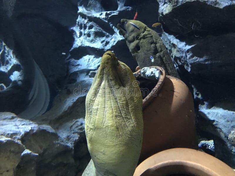 Moray eels. In the aquarium of singapore. January 2017 stock photography